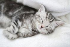 Il sonno del vostro gatto ... In questo articolo cercheremo di scoprire tutto ciò che c'è da sapere sul sonno dei vostri gatti. Un gatto dorme in genere tra le 12 e le 16 ore al giorno