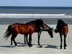 Barrier Island Feral Horses