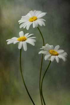 Daisies by Mandy Disher Happy Flowers, Simple Flowers, Amazing Flowers, Love Flowers, My Flower, Spring Flowers, Flower Art, Wild Flowers, Daisy Painting