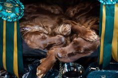 Two red setters have snooze in a cubby hole during downtime at Crufts
