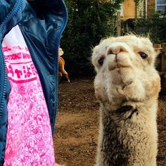 Westost Cartoon Lover and Alpaca at our local city farm #westostcartoonlovers #cartoongear #cityfarm #alpaca #urbanalpaca #brookscityfarm #eastend  #urbanwear #etsylondon  #screenprint #cartoonfigure #urbantshirt #illustration  #streetfashion  #londonlife #londontown #londonlook #londonlocal  #cartoontshirt #neon #eastlondon  #urbantshirt  #illustratedtshirt #cartoontshirt #neon #eastlondon