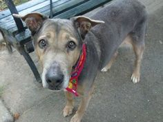"~~SWEET 15 YR OLD SENIOR TO BE DESTROYED 7/22/14 ~~ Manhattan Center  My name is MAY MAY. My Animal ID # is A0921729. *** RETURNED ON 7/17/14 FOR ""LANDLORD ISSUES"" *** I am a female brown and white germ shepherd and labrador retr mix. The shelter thinks I am about 15 YEARS old.  I came in the shelter as a OWNER SUR on 07/17/2014 from NY 10455, owner surrender reason stated was LLORDPRIVA."