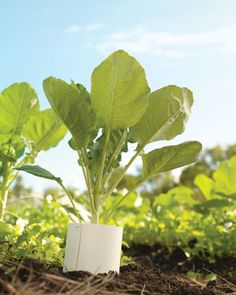 Push collars of heavy paper into the soil around 'Romanesco' cauliflower and other brassicas to keep cutworms at bay.
