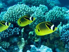 Several Racoon Butterflyfish, Takapoto Atoll, French Polynesia Photographic Wall Art Print Salt Water Fish, Salt And Water, Fresh Water, Colorful Fish, Tropical Fish, Oscar Fish, Cool Fish, Racoon, Beautiful Fish