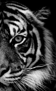 black and white tiger! if only it was a poster! i could make a poster and have a bunch of cool animal pictures on one poster! or print a bunch of pictures of cool animals and put em in a section of my wall! Nature Animals, Animals And Pets, Cute Animals, Baby Animals, Wild Animals, Animals Black And White, Black And White Pictures, Black White, Amazing Animals