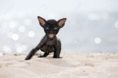 cornish rex kitten - Google Search