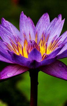 Waterlilies   Flower