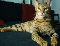 """Ashera - hybrid between the African serval, the Asian leopard cat, and a domestic housecat. However, the authenticity of the breed has been challenged, as the only known examples of """"Ashera"""" cats have been proven by DNA testing to be Savannah cats Gatos Maine Coon, Chat Maine Coon, Serval, Rare Cats, Cats And Kittens, Cats Meowing, Cats Bus, Most Beautiful Cat Breeds, Beautiful Cats"""