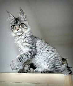 Young silver Maine Coon