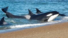 Love Transient orcas. They're so different from the other types :)