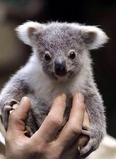 cc77654fa 8 Best Koalas i love you images in 2019 | Adorable animals, Koala ...