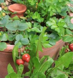Clay Pot Irrigation | Little Homestead in the City - A Path to Freedom towards Self-Sufficiency