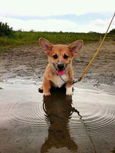 Corgi pup water