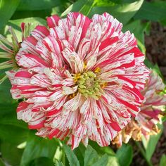 79e647161 Zinnia - Bon Bon Mix - Zinnia elegansLarge and vibrantly colored blooms of  the Bon Bon