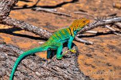 Yellow-headed Collared Lizard - Mesa Verde National Park