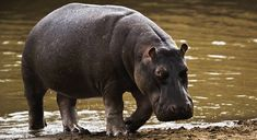 6. Hippopotamus - To my surprise, it's the hippo that is considered the most dangerous animal in Africa. They seem very docile but when provoked, watch out. 3,000 people per year die from hippos.