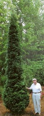"""His plant was special. With a growth rate of a meter (nearly 40"""") a year, 'American Pillar' was the fastest arborvitae I had ever seen"""