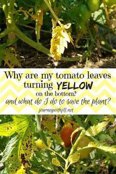 Tomatoes Gardening For Beginners Yellow Leaves at the Bottom of Your Tomato Plants? - Yellow leaves with brown spots on tomatoes are usually the symptom of early blight. Do this and you can save your plant and yield a harvest of tomatoes! Growing Tomatoes From Seed, Growing Tomatoes In Containers, Grow Tomatoes, Cherry Tomatoes, Baby Tomatoes, Dried Tomatoes, Yellow Leaves On Plants, Plant Leaves, Tomato Seedlings