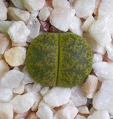 L. lesliei 'Albinica'