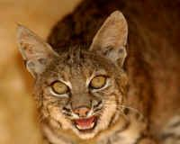 Cassie - bobcat