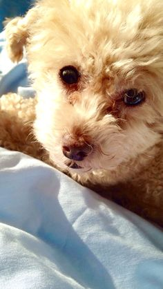 Baby toy poodle Amor