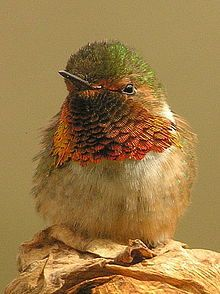 Scintillant Hummingbird - Wikipedia, the free encyclopedia.  The Scintillant Hummingbird (Selasphorus scintilla) is the smallest hummingbird within its range, which includes only the mountains of Costa Rica and western Panama.