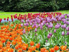 Jardines #Keukenhof, las flores de la cocina; el baño de color de uno de los jardines de flores de referencia de todo el mundo. http://www.guias.travel/blog/keukenhof-las-flores-de-la-cocina/ #turismo #Holanda