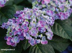 ortensia in blu con petali ricci