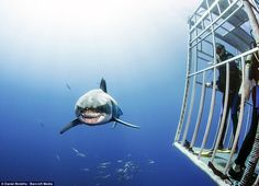 Barriier: These divers keep inside the safety of the underwater cage as the Great White moves in