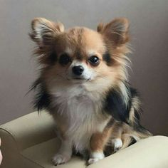 Effective Potty Training Chihuahua Consistency Is Key Ideas. Brilliant Potty Training Chihuahua Consistency Is Key Ideas. Chihuahua Love, Chihuahua Puppies, Cute Puppies, Dogs And Puppies, Cute Dogs, Chihuahuas, Doggies, Chihuahua Breeds, Funny Dogs