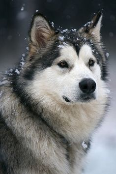 Alaskan Malamute ALMOST makes me want a dog...ALMOST...fortunately the feeling passes quickly!! LOL