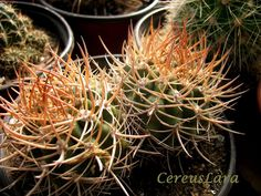 20 Neochilenia huascensis SEEDS OBN CHILE cactus semi korn rare