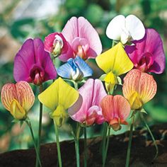 Sweet Pea odoratus 'Annual Species Mixed'.    This would be a pretty sight.