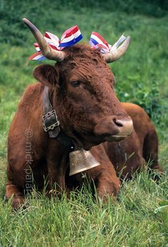 Auvergne, France. At Allanche, in the northeastern Cantal, Salers cows are decorated with ribbons in preparation of their festival march to the summer pastures in the mountains.