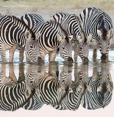 Zebra Reflections by Hendri Venter - Photo 39364626 - (Botswana) Winter Scenes, Zebras, Different Patterns, Animal Kingdom, Animals Beautiful, Africa, Black And White, Photography, Cook