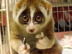 I don't know who you think you are, but the slow loris is the cutest animal ever.