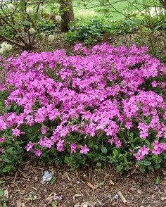 """Phlox stolonifera, cultivar """"Home Fires"""" (not """"home fries"""", which is what I keep wanting to type). A cultivated native species from Herring Run. As of 5/3/14, two plants have gone in towards the base of the hill to the left of the long stairs as you're descending."""