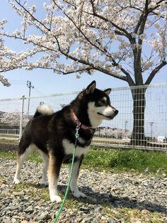 桜満開、新潟市。