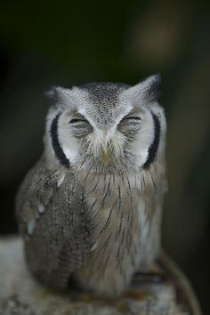 Sleeping Owl by Hidenobu Suzuki, via 500px. 37