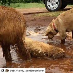 Da série, você acha que seu cachorro é porco?! Tem certeza?!? #bob #marley #goldenretrievers #goldenretriever #goldensofinstagram #goldenretrieverbrasil #dogs #dogstyle #doglovers #dogstagram #pets #petstagram #instapet #instagrammers