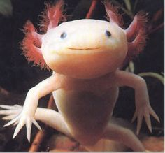 """Axolotl... she goes crazy over these in the """" Extreme Animal Encyclopedia"""""""