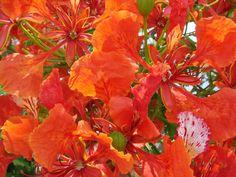 Royal Poinciana, Delonix regia, Tree Seeds (Flame Tree, Flamboyant Tree) (Fast)