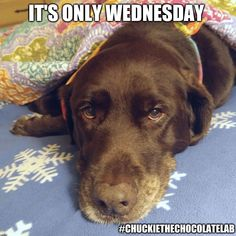 An image tagged chuckie the chocolate lab Funny Animals, Cute Animals, Chocolate Labs, Labrador Retrievers, Tier Fotos, Dog Stuff, Animal Pictures, Pets, Image