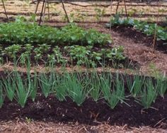 Vegetable Gardening Tips - Photo: © Marie Iannotti (2007) licensed to About.com, Inc.