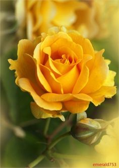 A perfect Yellow Rose ♥  While in Victorian times, the yellow rose symbolized jealousy, today it represents friendship, joy and caring. A bouquet of these sun-filled blossoms conveys warmth, gladness and affection.