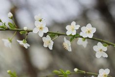 Victor Sitaru - Photographer: Primăvara cu flori de zarzăr
