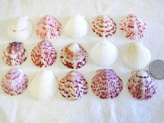 Scallop Shells  Sanibel Island Captiva Florida  Scallop by gr3een, $5.95 #teamupcyclers