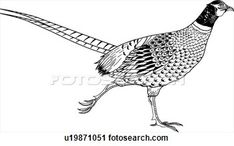 Clipart - pheasant. fotosearch  - search clipart,  illustration posters,  drawings and vector  eps graphics images