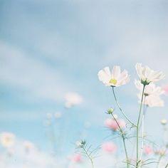pretty little flower Cosmos Flowers, Pastel Flowers, Flowers Nature, My Flower, Wild Flowers, Beautiful Flowers, Flower Bokeh, Pastel Blue, All Nature