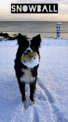 A Snowball according to a border collie...New in the life of Asha...